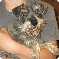 Schnauzer (Miniature) Dog for adoption in Salem, New Hampshire - Wilbur