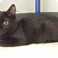 Adopt A Pet :: Darling - Chandler, AZ