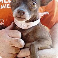 Adopt A Pet :: Cinnamon - San Diego, CA