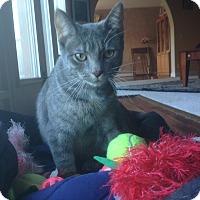 Adopt A Pet :: Fontine - Bentonville, AR