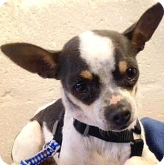 Chihuahua Mix Dog for adoption in Austin, Texas - Poppy