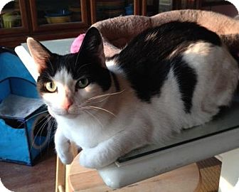 Domestic Shorthair Cat for adoption in Sterling Heights, Michigan - Stephanie