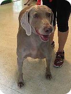 Weimaraner Dog for adoption in Fayetteville, Arkansas - Sassy