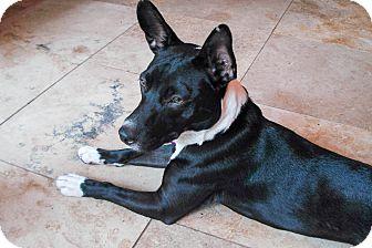 Bull Terrier Mix Dog for adoption in Savannah, Georgia - Tuxedo