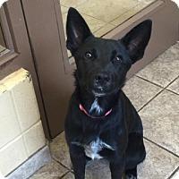 Adopt A Pet :: Nerissa 4710 - Joplin, MO