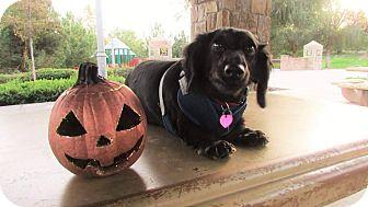 Dachshund Dog for adoption in Fountain Valley, California - Heidi