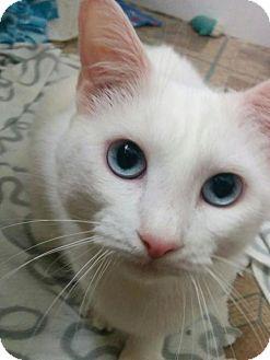 Domestic Shorthair Cat for adoption in Hurst, Texas - Anaheim