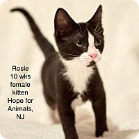 Domestic Shorthair Kitten for adoption in Marlboro, New Jersey - Rosie
