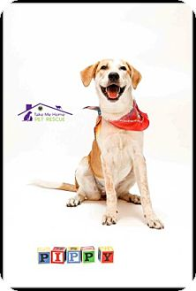 Cattle Dog/Labrador Retriever Mix Dog for adoption in Richardson, Texas - Pippy