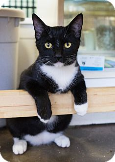 Domestic Shorthair Kitten for adoption in Montclair, California - Avion