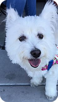 Poodle (Miniature) Mix Dog for adoption in North Las Vegas, Nevada - Boomer