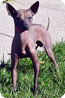 Xoloitzcuintle/Mexican Hairless Dog for adoption in Bridgeton, Missouri - Roamer