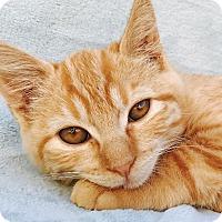 Adopt A Pet :: Pumpkin - La Jolla, CA