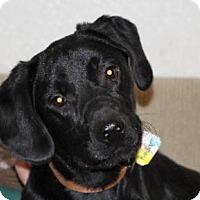 Adopt A Pet :: Koda - Avon, NY