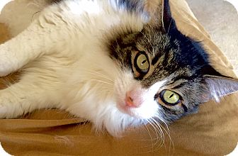 Maine Coon Cat for adoption in Davis, California - Lucy