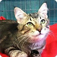 Domestic Shorthair Kitten for adoption in Seminole, Florida - Meyer