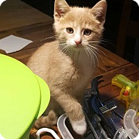 Domestic Shorthair Kitten for adoption in South Bend, Indiana - Brazile Avail 12/16