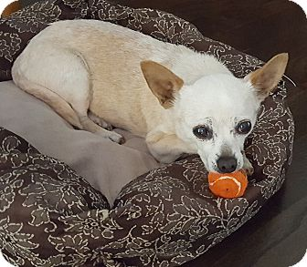 Chihuahua Mix Dog for adoption in St Helena, California - Toots