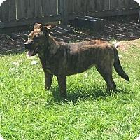 Adopt A Pet :: Sasha - Houston, TX