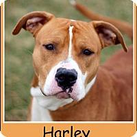 Adopt A Pet :: Harley - Sullivan, IN