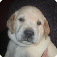 Adopt A Pet :: Sawyer: Maisy's Litter - Island Lake, IL