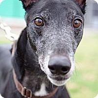 Adopt A Pet :: Presto - Rancho Santa Margarita, CA
