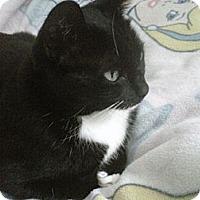 Adopt A Pet :: Sicily - Laguna Woods, CA