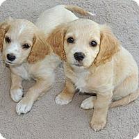 Adopt A Pet :: Litter of Cockapoo Girls - La Habra Heights, CA