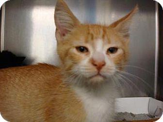 Domestic Shorthair Cat for adoption in Miami, Florida - Hunter