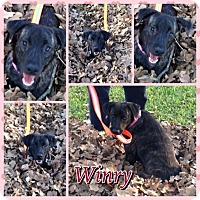 Adopt A Pet :: Winry - Houston, TX