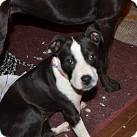 Adopt A Pet :: Tippy - Bedminster, NJ