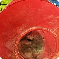 Adopt A Pet :: Nibbles - Ogden, UT