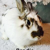 Adopt A Pet :: Brodie - Auburn, CA
