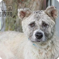 Akita Mix Dog for adoption in Troy, Illinois - Collette