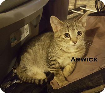 Domestic Shorthair Kitten for adoption in Speedway, Indiana - Arwick