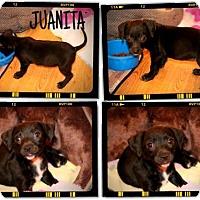 Adopt A Pet :: 5 PUPPIES  11 Weeks OLD - Rowayton, CT
