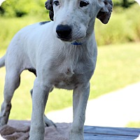 Adopt A Pet :: Kilo - Waldorf, MD