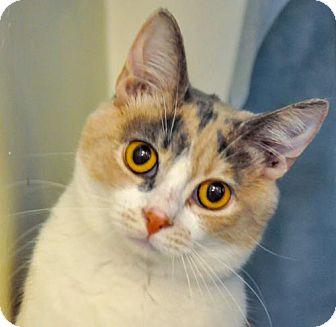 Domestic Shorthair Kitten for adoption in Alexandria, Virginia - Drew