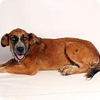 Adopt A Pet :: Adre Colliemix - St. Louis, MO