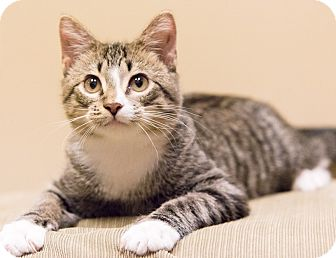 Domestic Shorthair Cat for adoption in Chicago, Illinois - Player