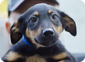 Shepherd (Unknown Type) Mix Puppy for adoption in Enfield, Connecticut - Holmes