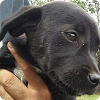 Labrador Retriever/Boxer Mix Puppy for adoption in Glenwood, Georgia - Cherry