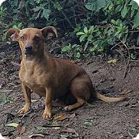 Adopt A Pet :: Ziva - Macon, GA
