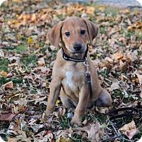 Adopt A Pet :: Brecken - New Oxford, PA