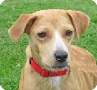 Hound (Unknown Type) Mix Dog for adoption in Woodstock, Illinois - Olive