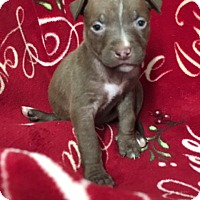 Adopt A Pet :: Princess Leia - San Diego, CA