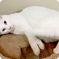 American Shorthair Cat for adoption in Woodland Hills, California - Zeke