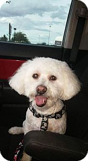Bichon Frise Dog for adoption in Phoenix, Arizona - Jingle