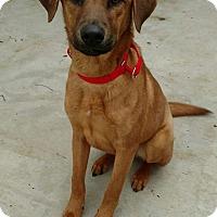 Adopt A Pet :: Clifford-adoption pending - Hanna City, IL