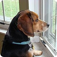 Adopt A Pet :: Foxey - Novi, MI